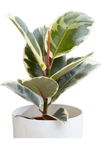 Heryer Bi̇tki̇ Ficus Belgica Kauçuk Bitkisi Saksı Çiçekleri