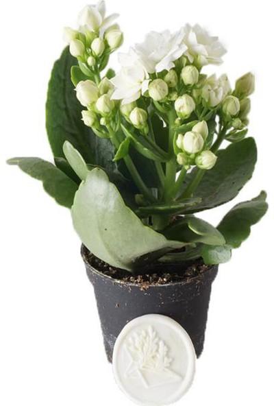 Heryer Bi̇tki̇ Kalanşo Çiçeği Beyaz