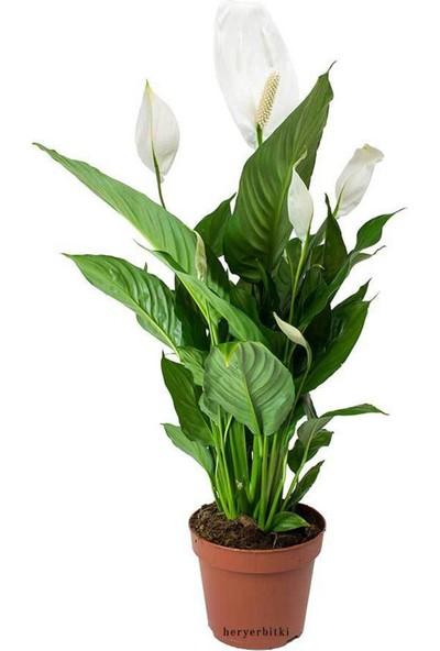 Heryer Bi̇tki̇ Spathiphyllum Barış Çiçeği