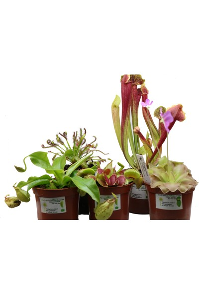 Etobur Bitkim Etobur Bitki Seti Canlı Saksıda Dikili Et Yiyen Bitki Sinek Kapan 5'li