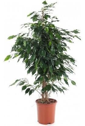 Serimler Fidancılık Benjamin Bitkisi Ficus Benjamina Salon Bitkisi 70 - 90 cm