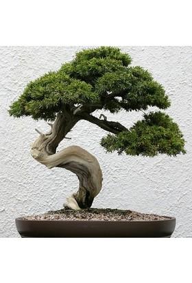 Çam Tohum Bodur Sarıçam Bonzai Ağacı Tohumu 5'li