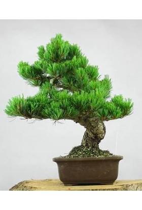 Nadir İthal Okaliptüs Bonzai Ağacı Tohumu 5 Tohum Bonsai Tohumu