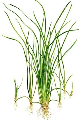 Akvaryum Bitkileri Vallisneria Nana 'saz' Saksı Canlı Bitki