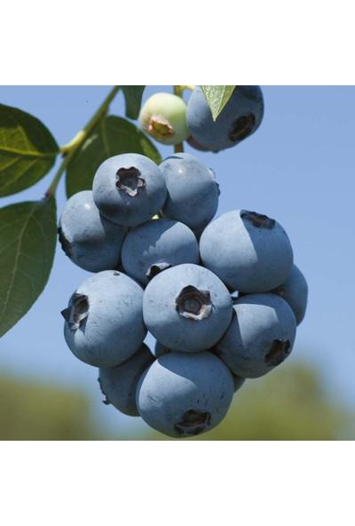 Plantistanbul Blueberry Brigitta Yaban Mersini Saksıda