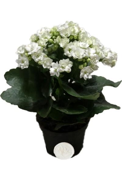 Heryer Bitki Kalanşo Çiçeği Beyaz Büyük Saksı Çiçekleri Iç Mekan Bitkileri