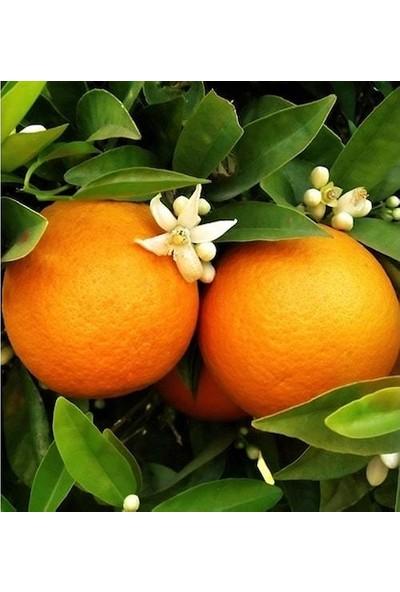 Uzay Bahçesi Portakal Fidanı Washington