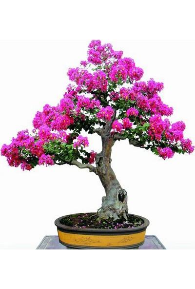 Çam Tohum Bodur Mersin Bonzai Ağacı Tohumu 5'li