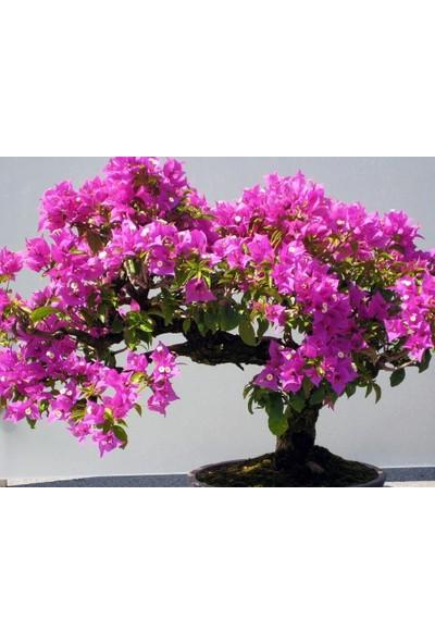 Çam Tohum Bodur Erguvan Bonzai Ağacı Tohumu 5'li