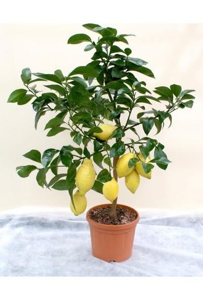 Çam Tohum Bodur Limon Bonzai Ağacı Tohumu 3'lü