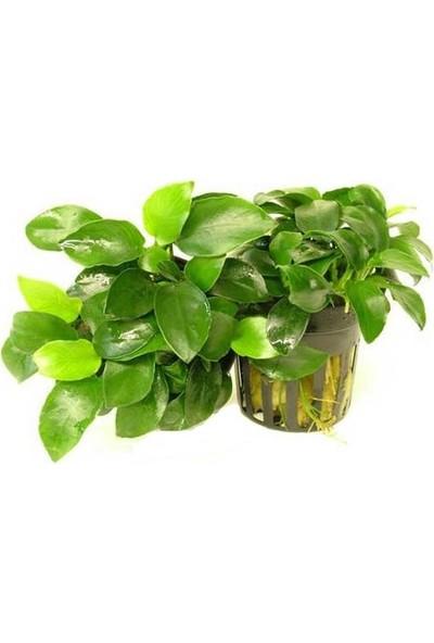 Akvaryum Bitkileri Anubias Nana 5-6 Yapraklı Kök Canlı Bitki