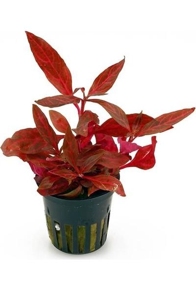 Akvaryum Bitkileri Alternanthera Rosanervig Saksı Canlı Bitki