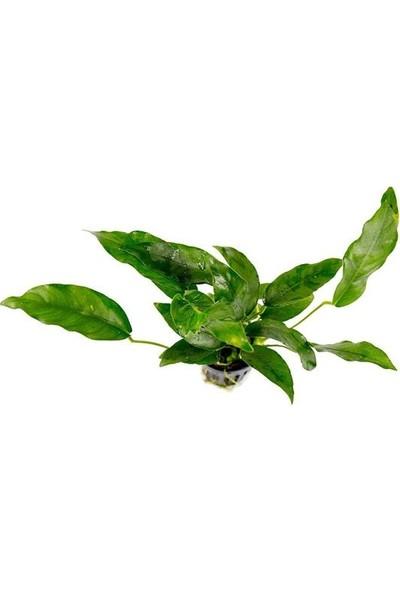 Akvaryum Bitkileri Anubias Species Canlı Bitki