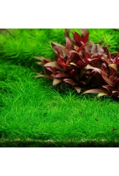 Akvaryum Bitkileri Eleocharis Parvula Mini In Vitro Canlı Bitki