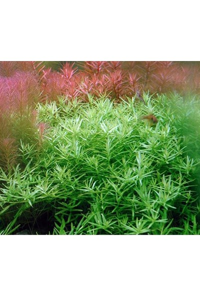 Akvaryum Bitkileri Rotala Wallichi Green Saksı Canlı Bitki