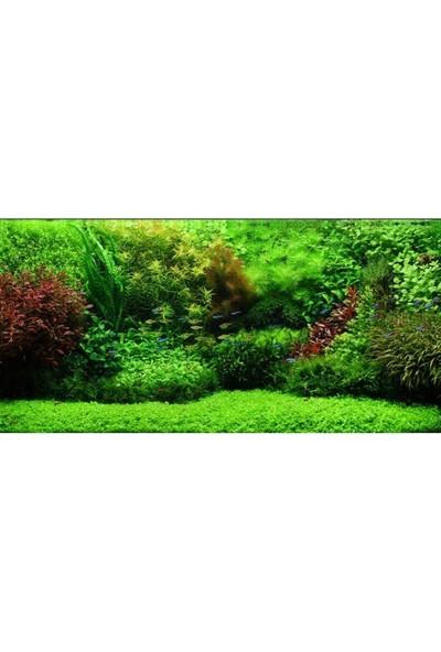 Akvaryum Bitkileri Micranthemum Monte Carlo T/c Cup Canlı Bitki