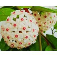 Akdeniz Tarım Hoya Carnosa Classic Kokulu Mum Çiçeği Bitkisi 1 m