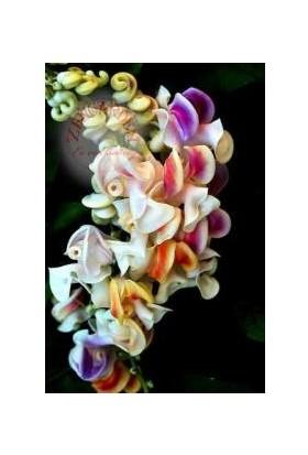 Tohumcu Kikizade Zarif Selluka Sarmaşık Çiçek Tohumu 3'lü