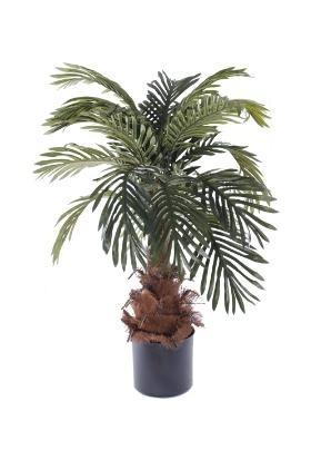 Çam Tohum Bodur Washingtonia Robusta Palmiye Ağacı Tohumu 3'lü