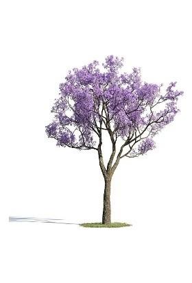 Çam Tohum Nadir Jakaranda Ağacı Tohumu 100'lü Jacaranda Mimosifolia