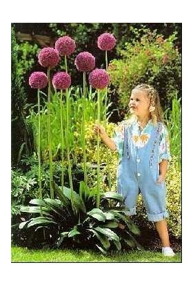 Çam Tohum Dev Mor Allium Çiçeği Tohumu 3'lü Çiçek Tohumu