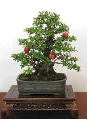 Çam Tohum Bodur Nar Bonzai Ağacı Tohumu 5'li Bonsai Tohumu
