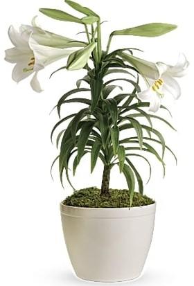Çam Tohum Nadir Japon Zambak Tohumu 3'lü Çiçek Tohumu
