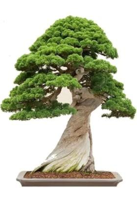 Çam Tohum Bodur Okaliptüs Bonzai Ağacı Ekim Seti 5'li Saksı Toprak Kombin