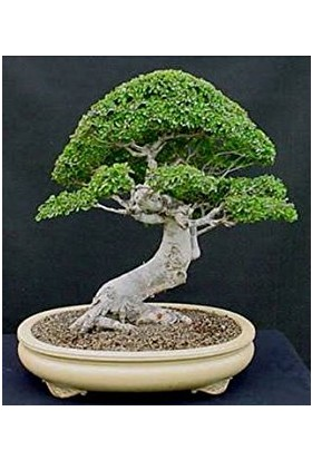 Çam Tohum Bodur Okaliptüs Bonzai Ağacı Tohumu 5'li Bonsai Ağacı Tohumu