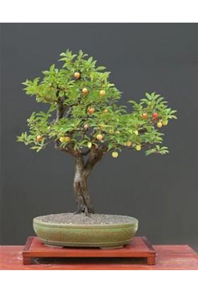 Çam Tohum Bodur Kiraz Bonzai Ağacı Tohumu 3'lü Bonsai Ağacı Tohumu