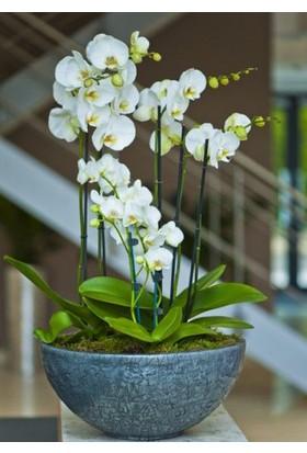 Orkide Tohumu 10'lu Saksı Torf Tohum