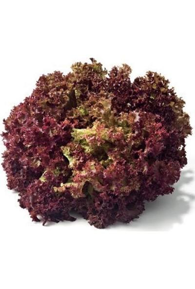 Fide Sepeti Fide Sepeti Kırmızı Kıvırcık Marul Tohumu 1 gr