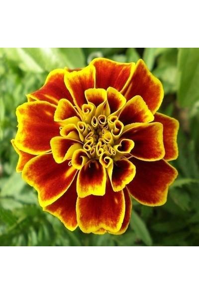 Fide Sepeti Kadife Çiçeği Karagöz Kadife Tagetes Patula 50 Tohum