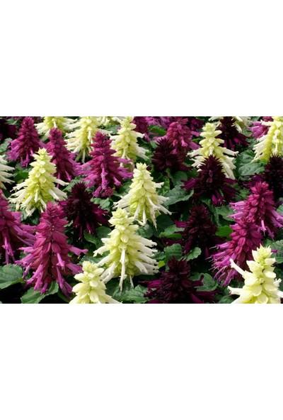 Fide Sepeti Ateş Çiçeği Salvia Splendes 25 Adet Tohum