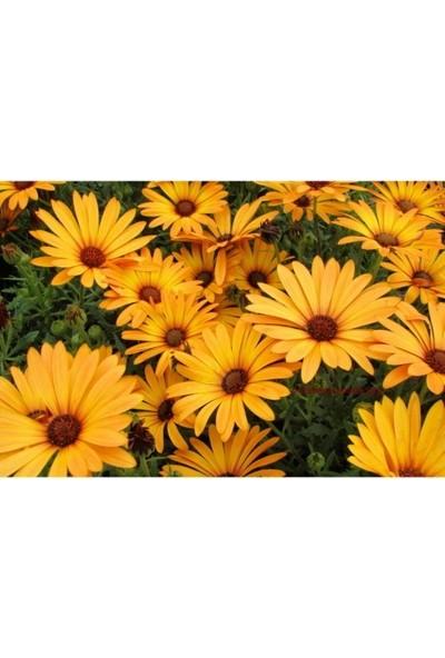 Fide Sepeti Çiçek Tohumu Afrika Papatyası (Sarı) 1 Paket