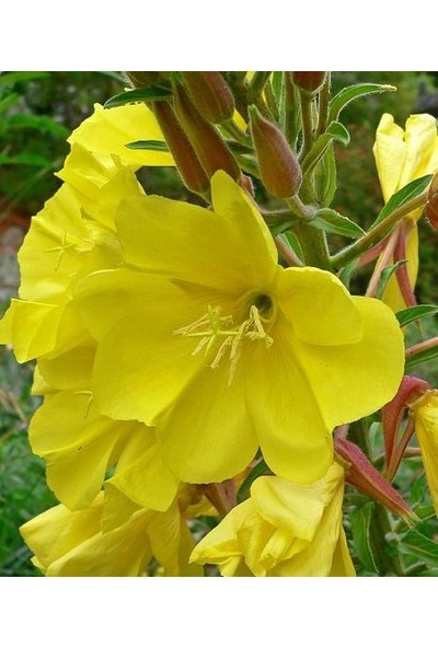 Fide Sepeti Ezan Çiçeği Tohumu Oenothera 50 Tohum