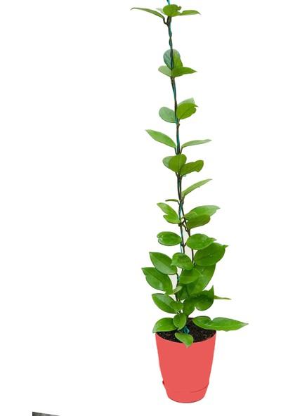 Akdeniz Tarım Hoya Carnosa Classic Gelişmiş Kokulu Mum Çiçeği Bitkisi 1,5 m