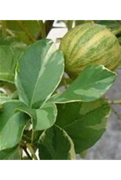 Ebruli Alacalı Limon Fidanı 2 Yaş Tüplü