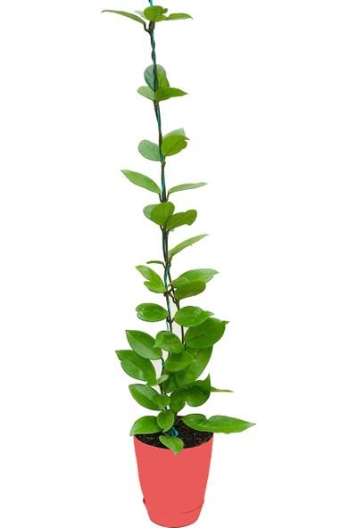 Akdeniz Tarım Hoya Carnosa Classic Gelişmiş Kokulu Mum Çiçeği Bitkisi 1,5 m 2'li