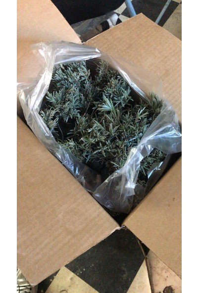 Mimoza Bahçe Tipi Tüplü Lavanta Fidanı Lavandula Intermedia 15 - 25 cm Tekli