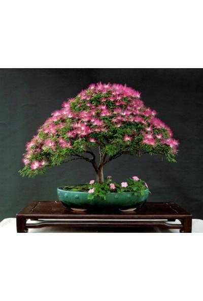 Çam Tohum Bodur Gülibrişim Bonzai Ağacı Tohumu 5'li Bonsai Tohumu