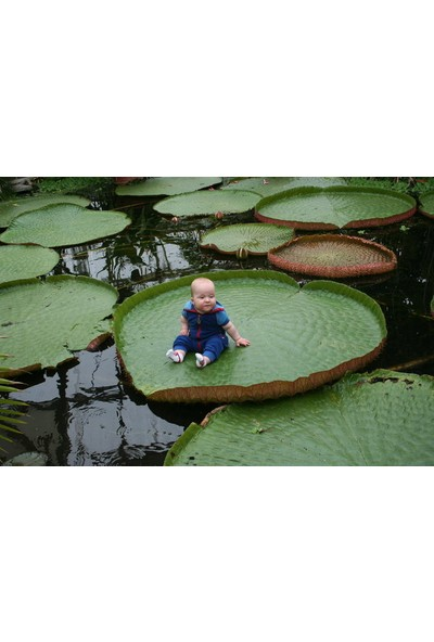 Çam Tohum Nadir Viktoria Reiga Lotus Çiçeği Tohumu Tekli Tohum