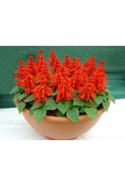 Çam Tohum Kırmızı Ateş Çiçeği Ekim Seti 5'li Saksı Toprak Çiçek Tohumu