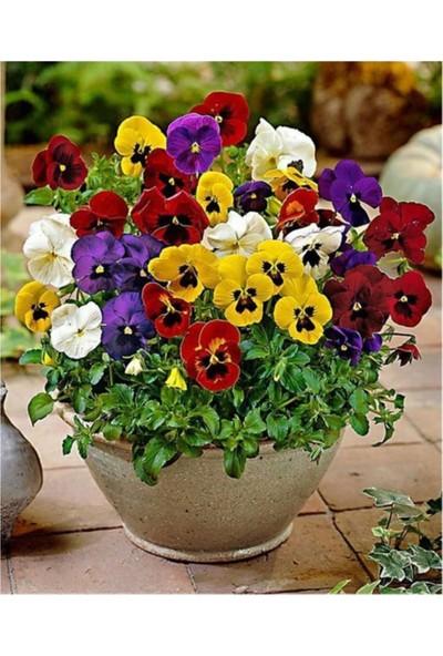 Çam Tohum Karışık Hercai Menekşe Çiçeği Ekim Seti 5'li Saksı Toprak Çiçek Tohumu