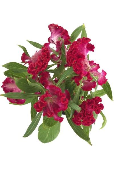 Çam Tohum Karışık Horozibiği Çiçeği Ekim Seti 5'li Saksı Toprak Horoz Ibiği Çiçeği