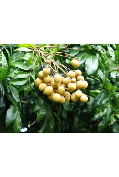 Çam Tohum Tropikal Ejderha Gözü Meyvesi Tohumu Tekli Tohum