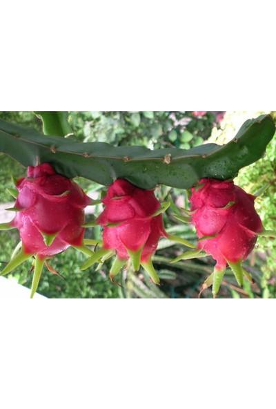 Çam Tohum Pitaya Ejder Meyvesi Tohumu 10'lu Pithaya Dragon Fruit