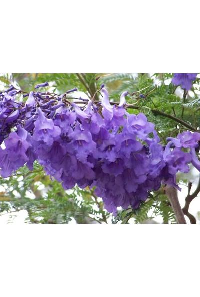 Çam Tohum Nadir Jakaranda Ağacı Tohumu 10'lu Jacaranda Mimosifolia