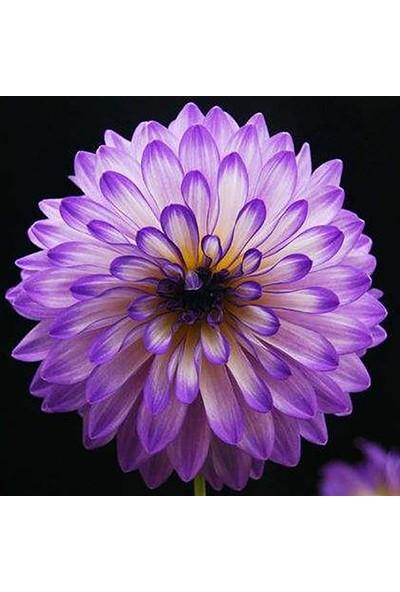 Çam Tohum Karışık Dahlia Çiçeği Tohumu 5'li Çiçek Tohumu