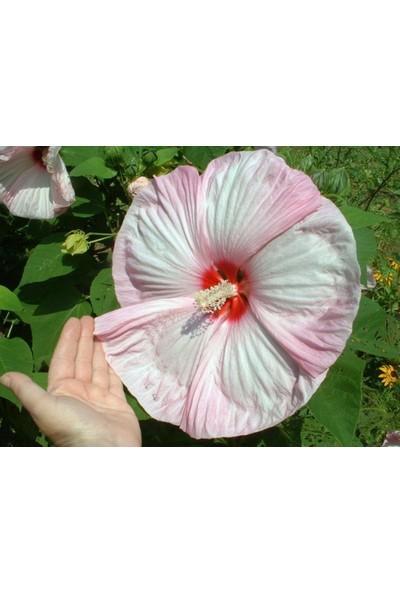 Çam Tohum Nadir Dev Karışık Hibiscus Çiçeği Tohumu 5'li